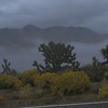 joshua trees in the fog