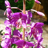 fireweed(thx Snow Nymph for the id)